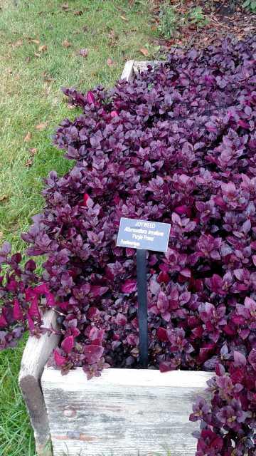 Alternanthera-Purple-Prince