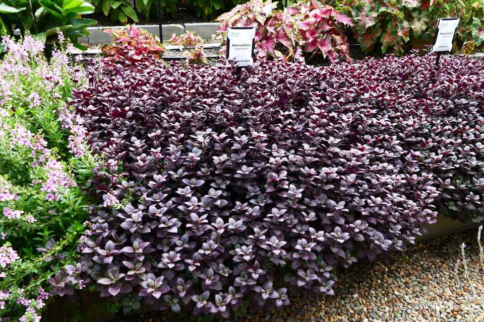 Alternanthera 'Purple Prince'