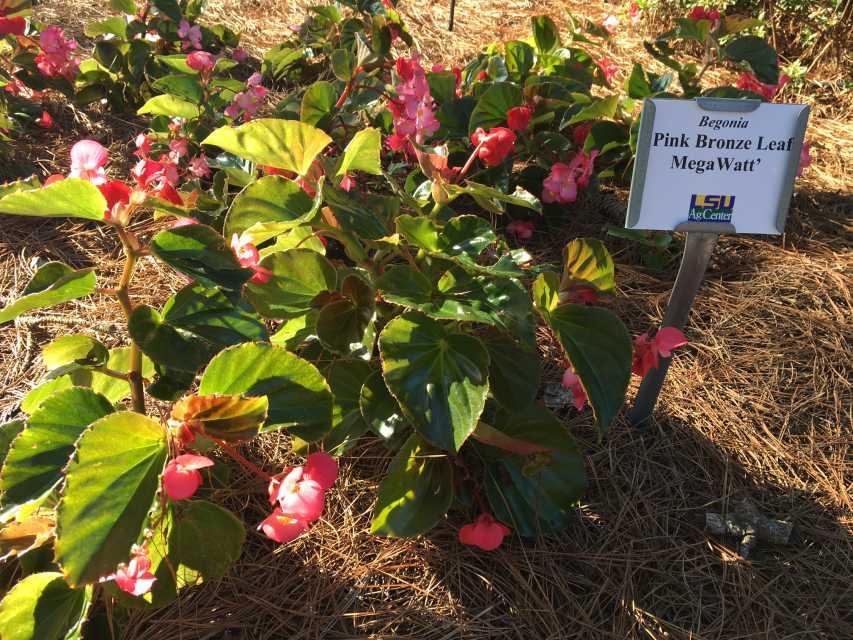 Begonia-Megawatt-Pink-Bronze-Leaf
