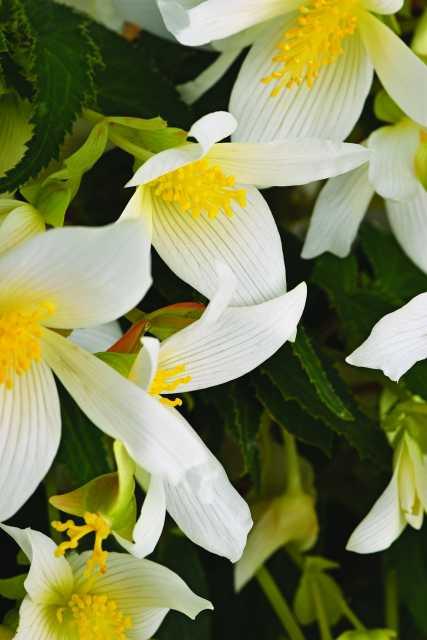 Begonia-ShineBright-White