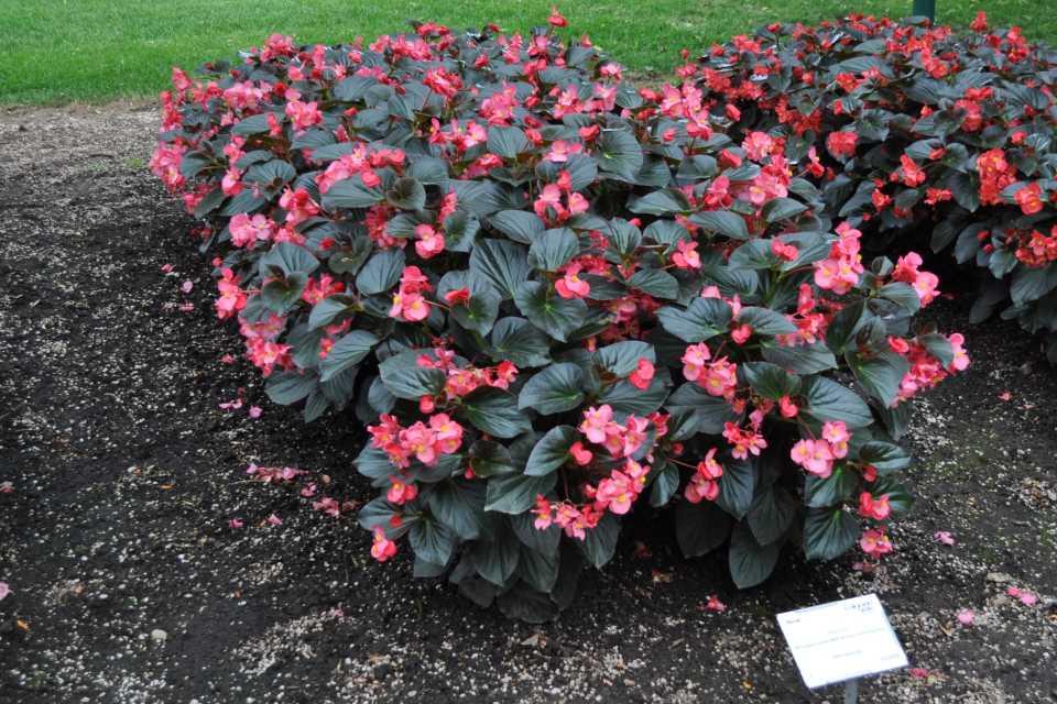 Begonia-Whopper-Rose-With-Bronze-Leaf-Improved