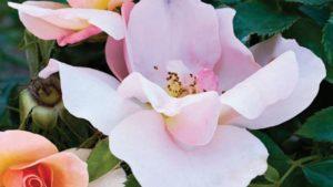 Chinook Sunrise Rose at Vineland