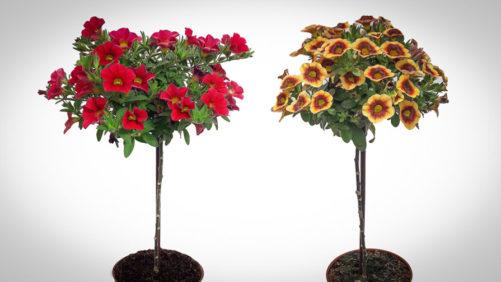 Eason Horticultural Resources Introduces New Decorative Calibrachoa