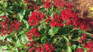 Pentas-Lucky-Star-Red