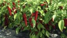 Pepper Cayenne 'Red Ember' (Johnny's Selected Seeds)