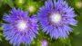 Stokesia Blue Frills
