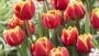 NGB Year of the Tulip