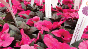 Growing Tips From a Pro for SunStanding New Guinea Impatiens