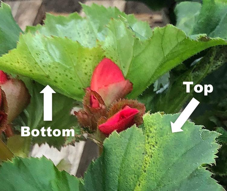 Plantpeddler Provides Guidelines for Xanthomonas Bacterial Leaf Spot in Begonias