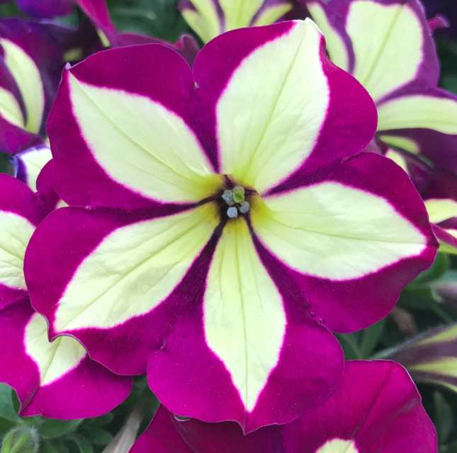 petunia-crazytunia-frisky-purple