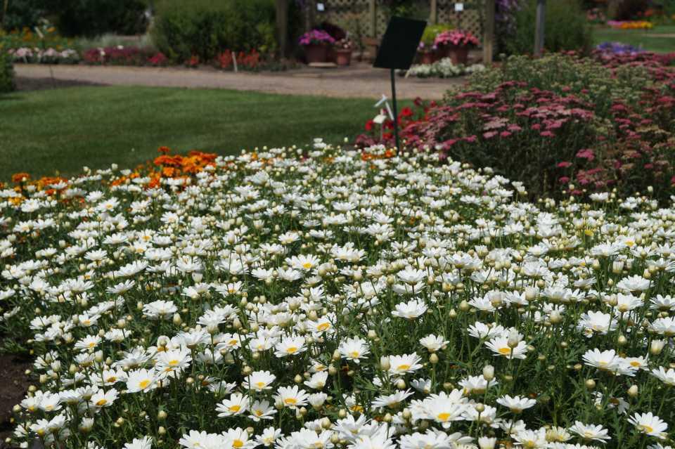 Argyranthemum-Pure-White-Butterfly