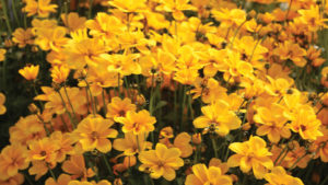 Growing Tips for Bidens From a Plant Expert