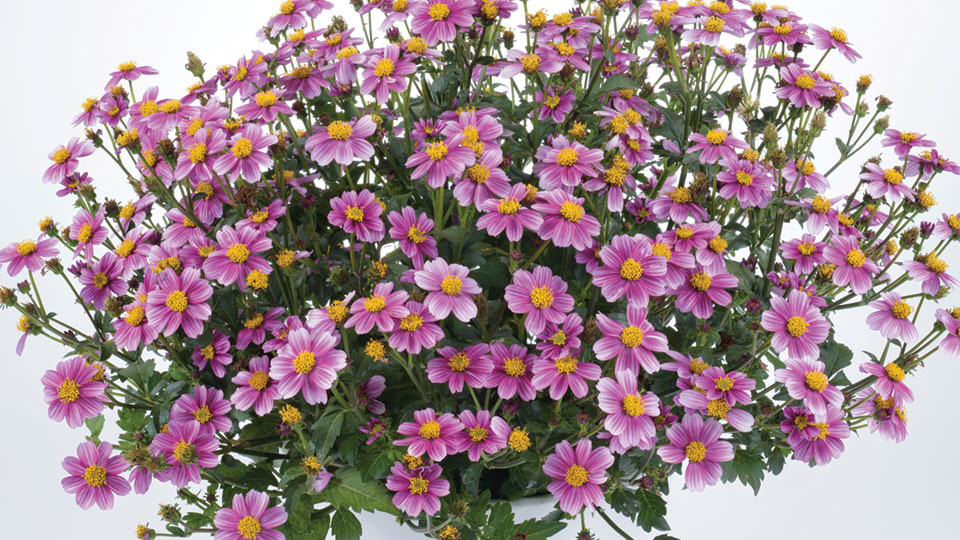 Bidens-Pretty-in-Pink-Danziger-feature