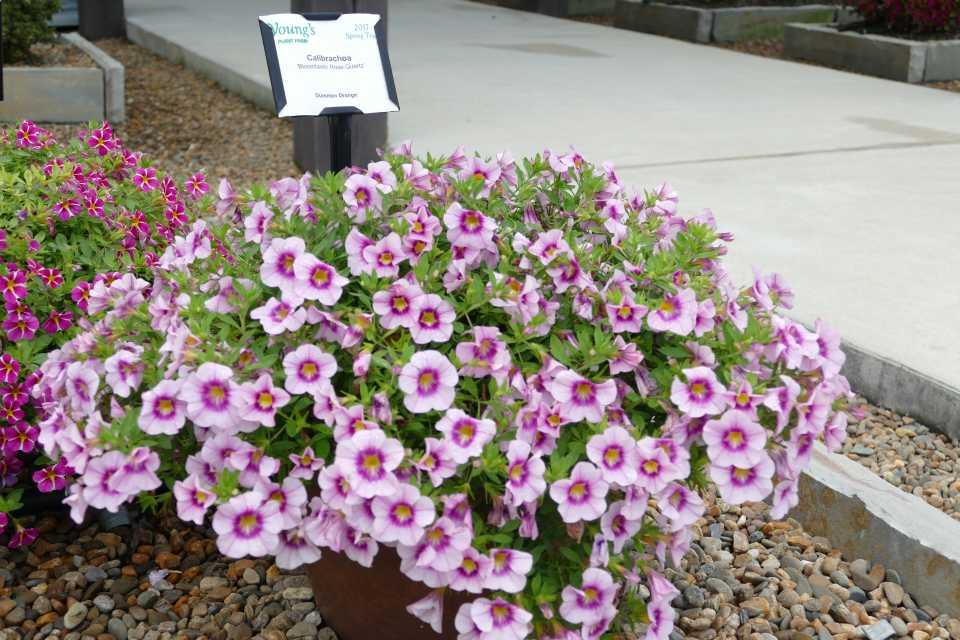 Calibrachoa Bloomtastic