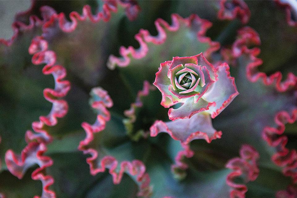 Echeveria-Crimson-Tide