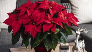 Dümmen Orange is Your One-Stop Shop for 2018 Poinsettias