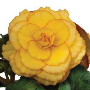 Golden-State-Bulb-Begonia-2
