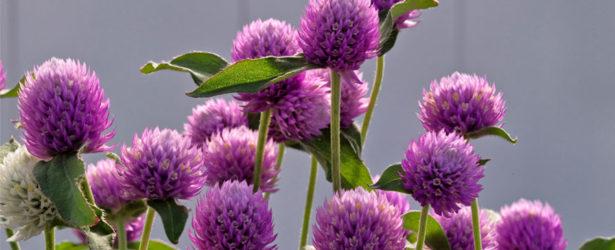 Gomphrena-Ping-Pong-Lavender-Sakata-Ornamentals-feature