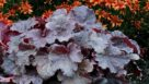 Heuchera-Northern-Exposure-Black-Terra-Nova-Nurseries