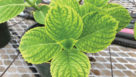 Iron-Chlorosis-in-Hydrangea-feature