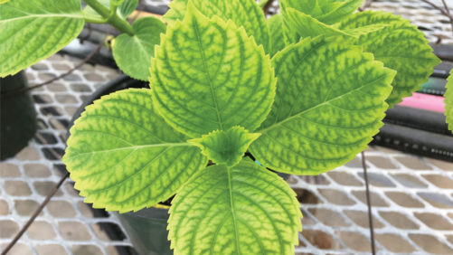 How Low Substrate pH Can Cause Lower Leaf Chlorosis