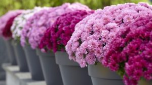 Bold, Bright Garden Mums from Dümmen Orange