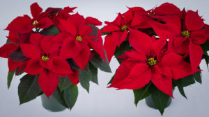 University of Florida Poinsettia Trials Will Take Place Dec. 4