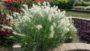 Pennisetum-Feathertop_Feature-Image_NDSU