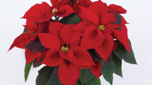 Growing Tips for 'Mirage' and 'Lyra' Poinsettias