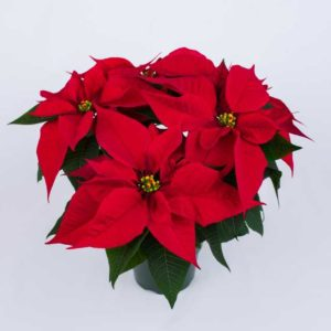 Poinsettia 'Lyra Red' (Syngenta Flowers)