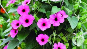 Stand-Out New Varieties That Keep  D.S. Cole Growers Competitive