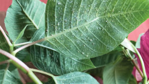 Mitigating Whiteflies in Ornamental Production
