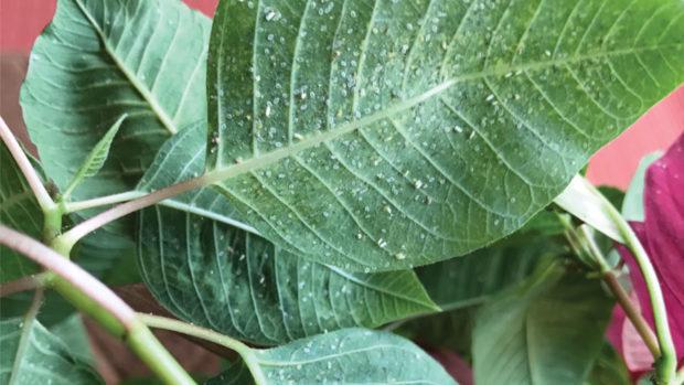 Whitefly-Feeding-on-Poinsettias-feature