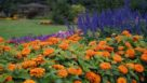 Zinnia-Magellan-Orange