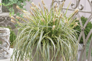 Carex-Featherfalls
