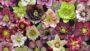 Hellebores-at-Sunshine-Farm-and-Gardens