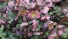 Helleborus Frostkiss Penny's Pink
