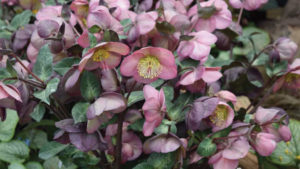 Allan Armitage on Hot New Perennials for 2018