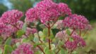 Sedum-Pillow-Talk