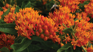 Asclepias-tuberosa-feature