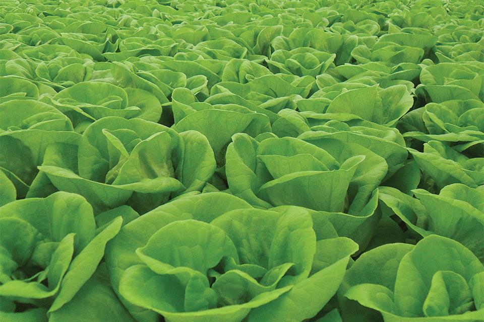 Hydroponic production lettuce-crop