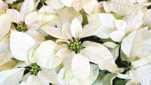 Poinsettia-Survey-feature-image
