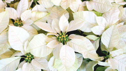Survey Says: Poinsettia Prices, Sales, and Production Increased in 2017