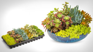 Proven Winners Launches New Line of Succulents