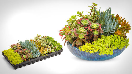 Proven Winners Delays Launch of Coral Creations Succulents