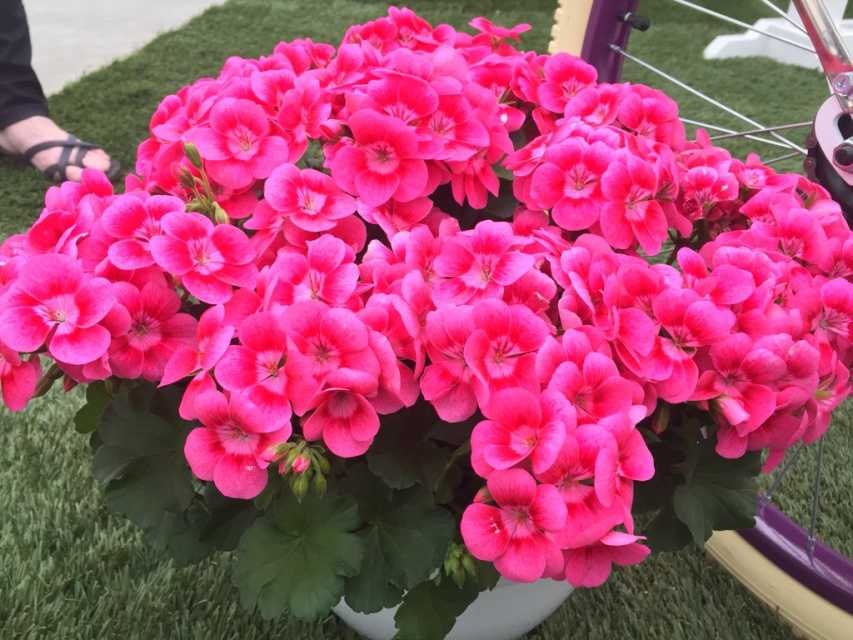 California spring trials 2018 new intros from syngenta flowers geranium little pretty pink splash syngenta flowers mightylinksfo