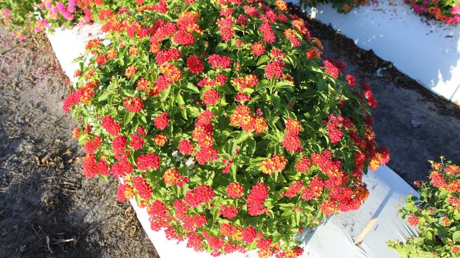 Bloomify Red lantana cultivar