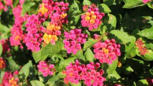 How Researchers are Building Better Lantana Plants