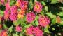Bloomify Rose lantana cultivar