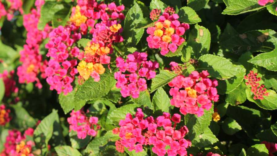 How Researchers Are Building Better Lantana Plants Greenhouse Grower